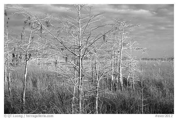 Cypress and sawgrass near Pa-hay-okee, morning. Everglades National Park (black and white)