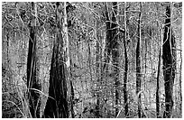 Cypress and sawgrass close-up near Pa-hay-okee, morning. Everglades National Park, Florida, USA. (black and white)