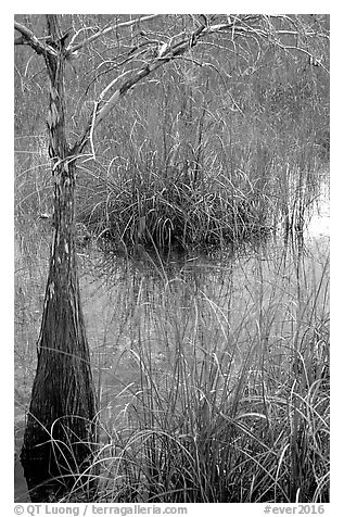 Swamp with cypress and sawgrass  near Pa-hay-okee, morning. Everglades National Park (black and white)