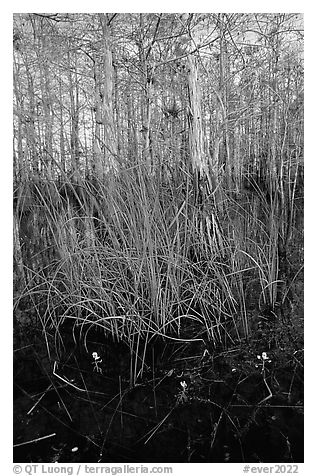 Yellow carnivorous flower and cypress. Everglades National Park (black and white)