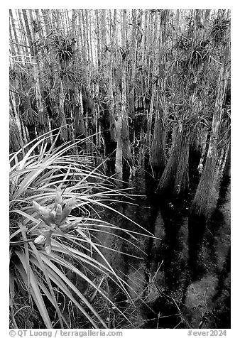 Cypress dome with bromeliad and cypress trees. Everglades National Park (black and white)