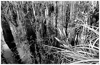 Bromeliad and bald cypress inside a dome. Everglades National Park ( black and white)
