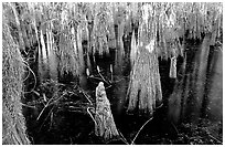 Cypress knees and trunks. Everglades National Park ( black and white)
