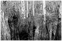 Bromeliad and cypress inside a dome. Everglades National Park ( black and white)