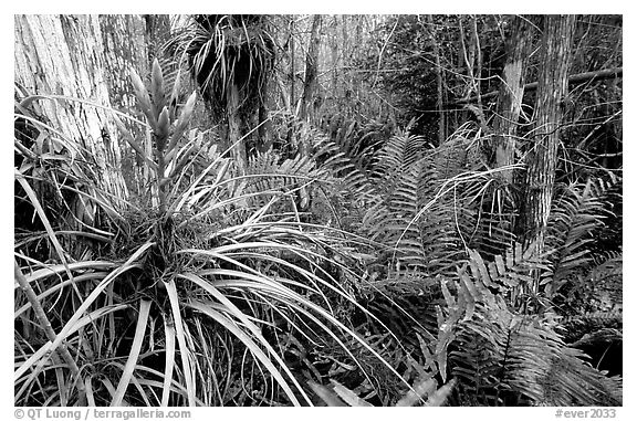 Bromeliad and swamp ferns inside a dome. Everglades National Park, Florida, USA.