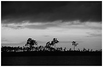 Stormy sunset and pine trees,  Pine Glades Lake. Everglades National Park, Florida, USA. (black and white)