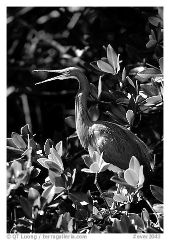 Tri-colored heron. Everglades National Park (black and white)