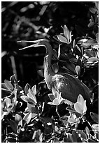 Tri-colored heron. Everglades National Park, Florida, USA. (black and white)