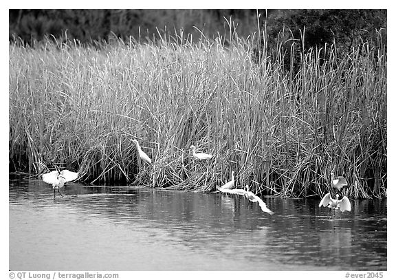 White Herons. Everglades National Park (black and white)
