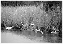 White Herons. Everglades National Park, Florida, USA. (black and white)
