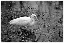 Ibis. Everglades National Park ( black and white)