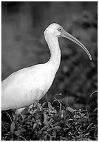 White Ibis. Everglades National Park, Florida, USA. (black and white)