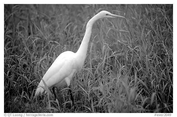 Great White Heron. Everglades National Park (black and white)