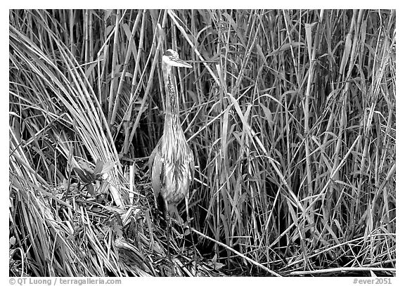 Great Blue Heron. Everglades National Park (black and white)