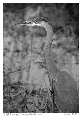 Blue heron. Everglades National Park (black and white)