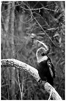 Ahinga. Everglades National Park ( black and white)