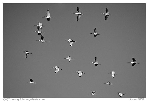 White ibis in flight. Everglades National Park (black and white)