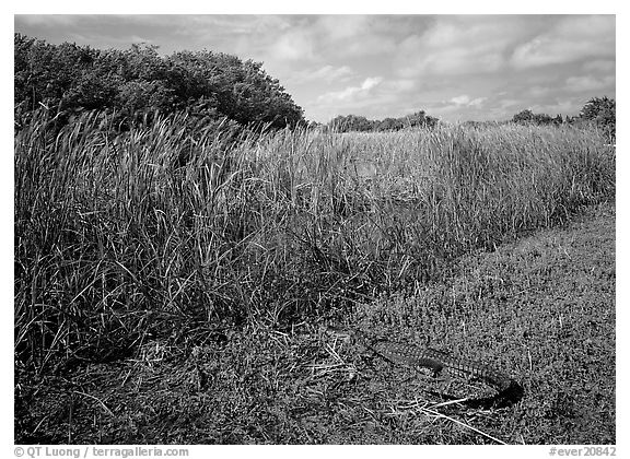 Alligator resting on grass near Eco Pond. Everglades National Park (black and white)