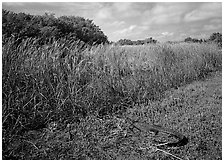 Alligator resting on grass near Eco Pond. Everglades National Park, Florida, USA. (black and white)