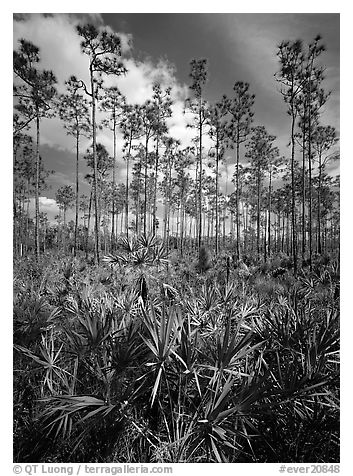 Slash pines and saw-palmetttos, remnants of Florida's flatwoods. Everglades  National Park (black and white)