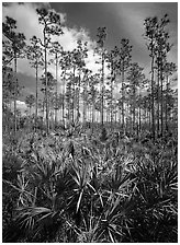 Slash pines and saw-palmetttos, remnants of Florida's flatwoods. Everglades National Park, Florida, USA. (black and white)