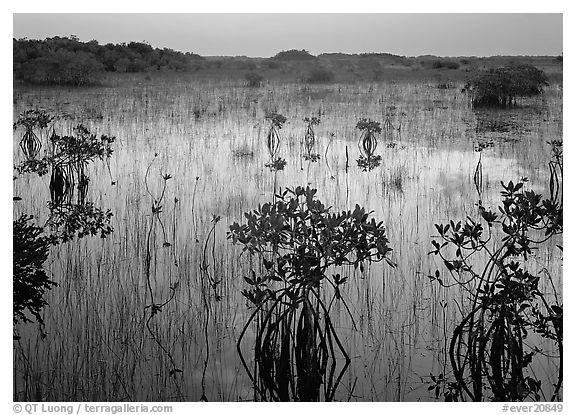 Mangrove shrubs several miles inland near Parautis pond, sunrise. Everglades National Park (black and white)