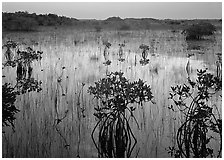 Mangrove shrubs several miles inland near Parautis pond, sunrise. Everglades National Park, Florida, USA. (black and white)