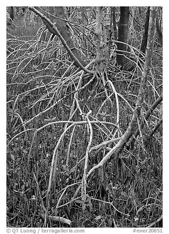 Red and black  mangroves. Everglades  National Park (black and white)
