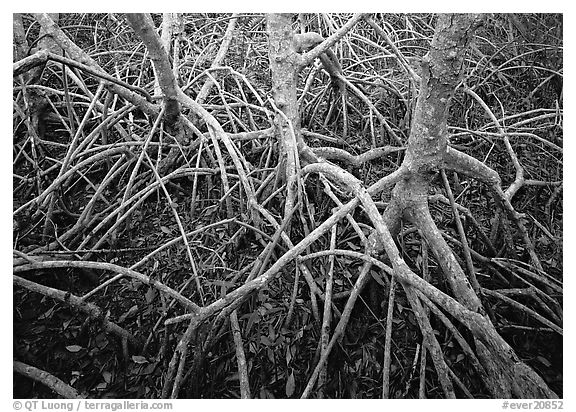 Red mangroves. Everglades National Park (black and white)