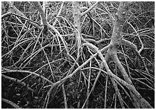 Red mangroves. Everglades National Park, Florida, USA. (black and white)