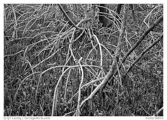 Intricate root system of red mangroves. Everglades  National Park (black and white)