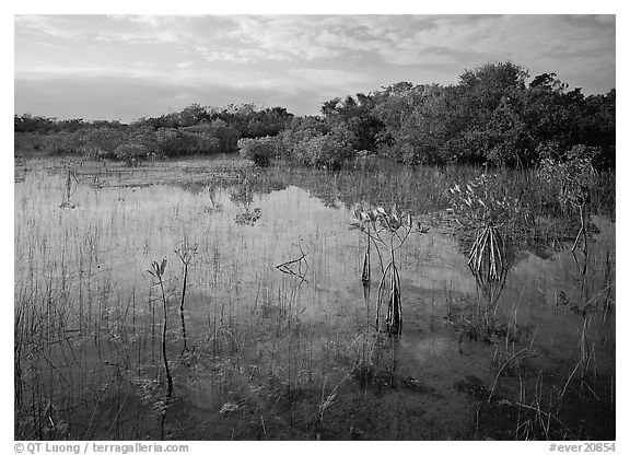 Mixed marsh ecosystem with mangrove shrubs near Parautis pond, morning. Everglades National Park (black and white)