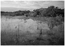 Mixed marsh ecosystem with mangrove shrubs near Parautis pond, morning. Everglades National Park, Florida, USA. (black and white)