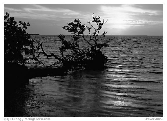Fallen mangrove tree in Florida Bay, sunrise. Everglades National Park (black and white)