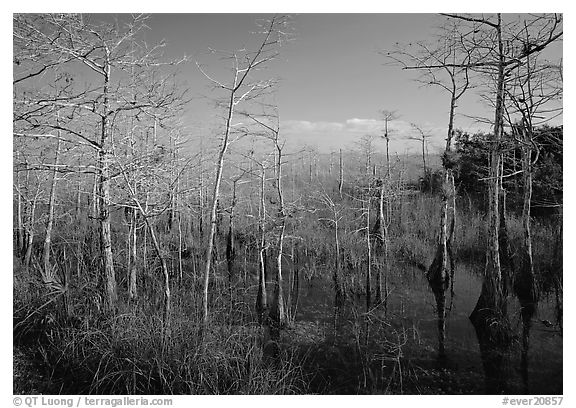 Pond Cypress (Taxodium ascendens) near Pa-hay-okee, morning. Everglades National Park (black and white)