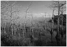Pond Cypress (Taxodium ascendens) near Pa-hay-okee, morning. Everglades National Park, Florida, USA. (black and white)