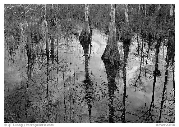 Cypress trees reflected in pond. Everglades National Park (black and white)