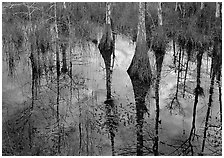 Cypress trees reflected in pond. Everglades National Park, Florida, USA. (black and white)