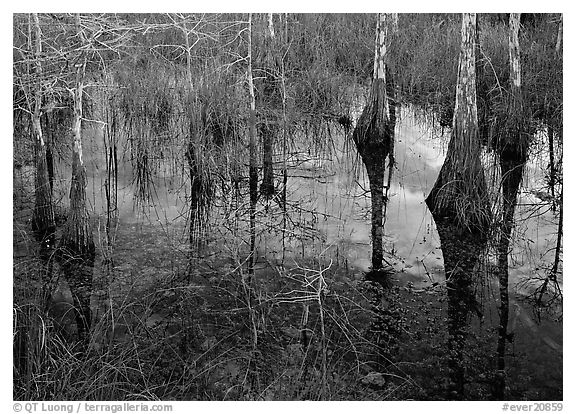 Bald Cypress reflections near Pa-hay-okee. Everglades National Park (black and white)