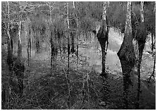 Bald Cypress reflections near Pa-hay-okee. Everglades National Park ( black and white)