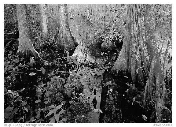 Large bald cypress (Taxodium distichum) and cypress knees in dark swamp water. Everglades National Park (black and white)