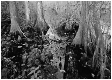 Large bald cypress (Taxodium distichum) and cypress knees in dark swamp water. Everglades National Park ( black and white)
