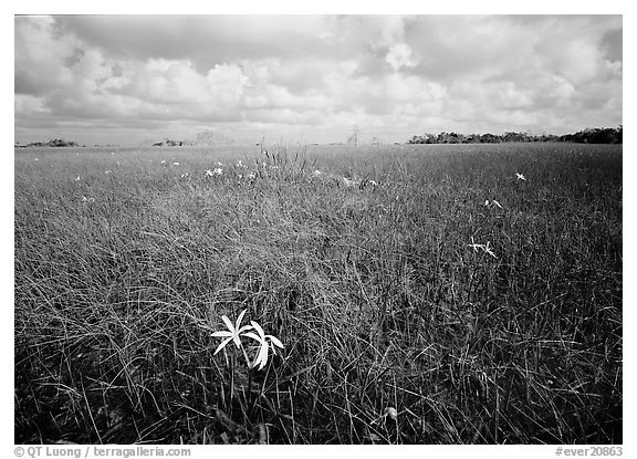 Swamp lilly (Crinum americanum) and sawgrass (Cladium jamaicense). Everglades National Park (black and white)