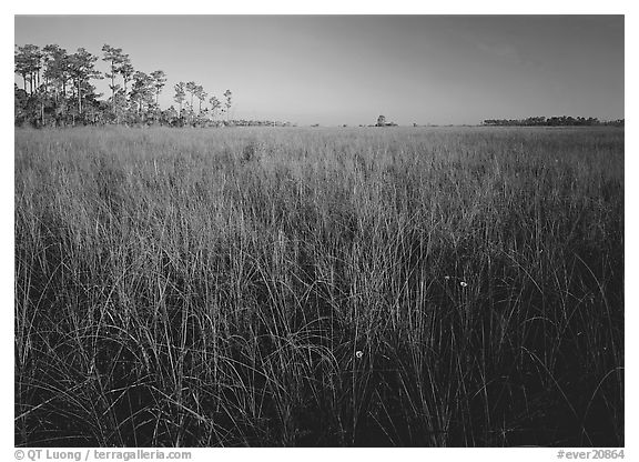 Flowers, sawgrass expense, and pine trees. Everglades  National Park (black and white)