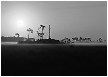Sun rising behind group of pine trees. Everglades National Park, Florida, USA. (black and white)