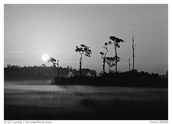 Sun rising behind group of pine trees with fog on the ground. Everglades  National Park (black and white)