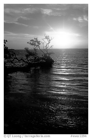 Sun rising over fallen Mangrove tree, Florida Bay. Everglades National Park (black and white)
