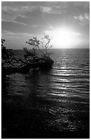 Sun rising over fallen Mangrove tree, Florida Bay. Everglades National Park, Florida, USA. (black and white)