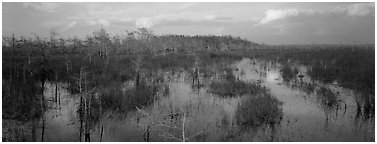 Swamp landscape in the evening. Everglades National Park (Panoramic black and white)