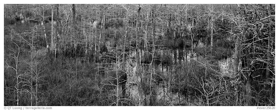 Cypress trees and marsh. Everglades National Park (black and white)